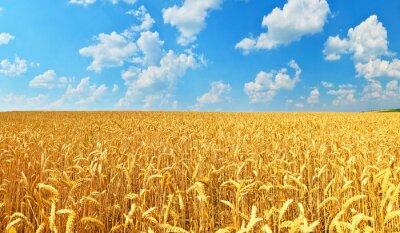 Obraz Pole pszenicy