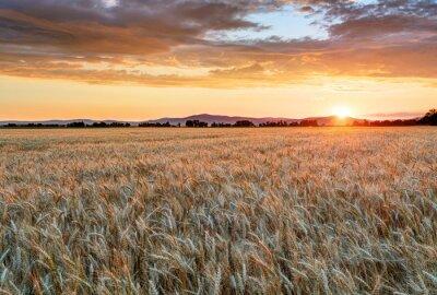 Obraz Pole pszenicy o zachodzie słońca