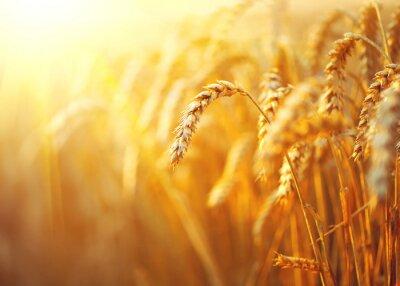 Obraz Pole pszenicy. Uszy złotym zbliżenie pszenicy. Wiejskiej scenerii pod świecącym słońcu