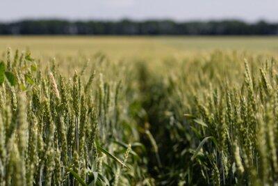 Obraz Pole pszenicy w letni dzień