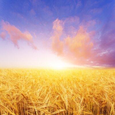 Obraz Pole pszenicy w letni dzień w Nowej Zelandii