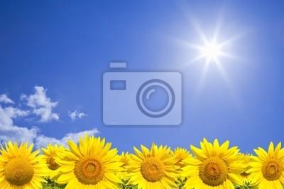 Pole Słoneczniki przeciw słoneczne błękitne niebo
