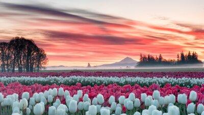 Obraz pole tulipanów pod różowym wschodem słońca z górą w tle