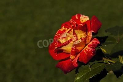 Pomarańczowy i żółty róża z zielonymi liśćmi i zielonym tle trawy
