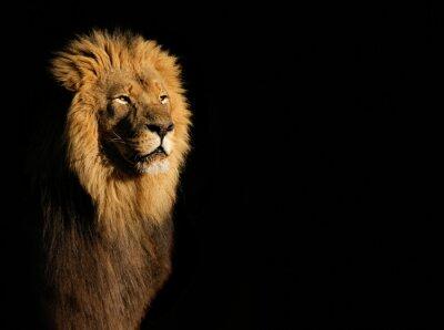 Obraz Portret duży samiec lwa afrykańskiego (Panthera leo) na czarnym tle, Republika Południowej Afryki.