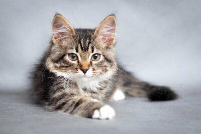 Obraz Portret leżącego kota