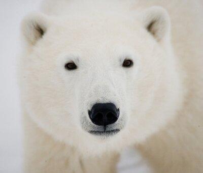 Obraz Portret Niedźwiedź polarny. Close-up. Kanada. Doskonałą ilustracją.