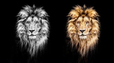 Obraz Portret pięknej lwa, lwa w ciemności, farb olejnych