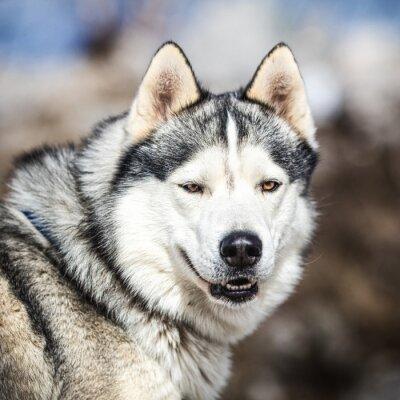 Obraz Portret sanki psa, pies Husky