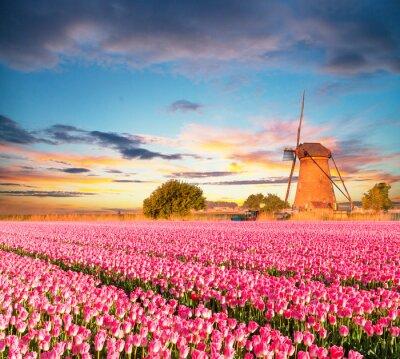Obraz Prężny tulipanów pole z holenderskiego wiatraka