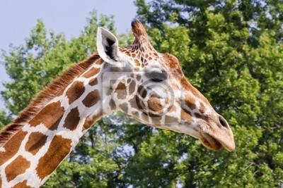 Profil Szef Giraffe