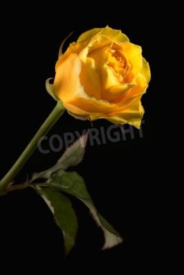 Przeznaczone do walki radioelektronicznej żółta róża z zielonych liści na czarnym tle