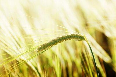 Obraz pszenicy i słoneczny dzień
