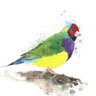 Ptak tropikalnych ptaków australijski Finch colorfulbird akwarela ilustracji samodzielnie na białym tle