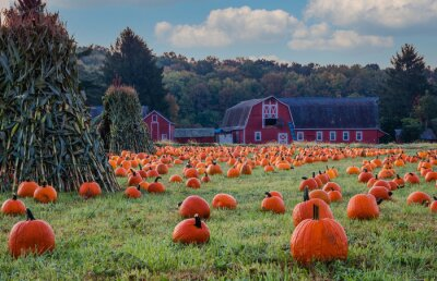 Obraz Pumpkins arranged on a farm with red barn in morning dew with fluffy clouds and blue sky for idyllic fall scene