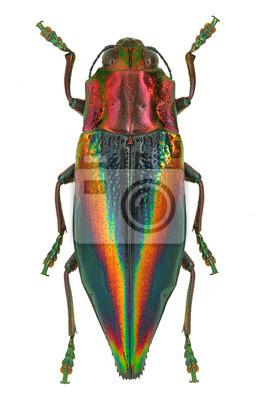 Obraz Rainbow kolorowe Jewel chrząszcz Cyphogastra javanica, Indonezja