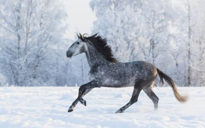 Obraz Rasowy koń galopujący całej śnieżna zima łąka
