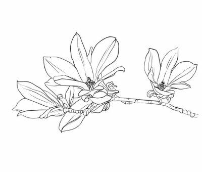 Obraz Ręcznie rysowane kwiaty magnolii.