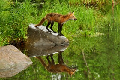 Obraz Red Fox i refleksji wody w otoczeniu zieleni.