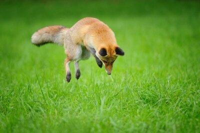 Obraz Red Fox na polowanie, kiedy mousing w trawy z przodu widok z boku