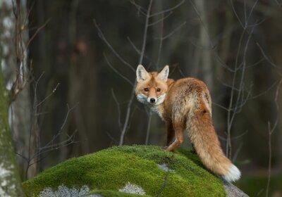 Obraz Red Fox na skale omszały, patrząc prosto w obiektyw ,, Republika Czeska, Europa
