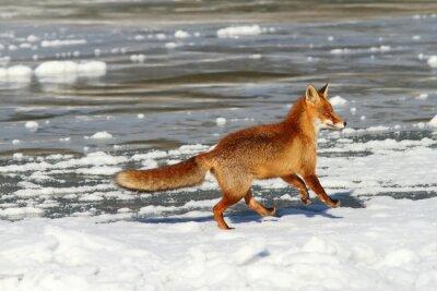 Obraz red fox uruchomiony na lodzie