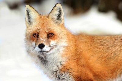 Obraz Red Fox (Vulpes)