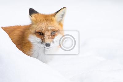 Obraz Red Fox, Vulpes Vulpes, zerkając zza banku śniegu
