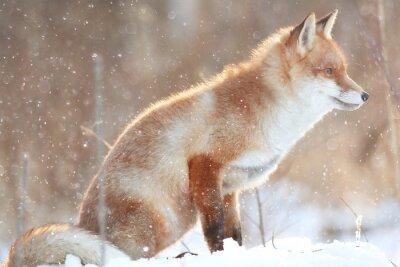 Obraz Red Fox w zimowym lesie Dość