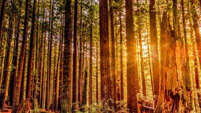 Obraz Redwood Sun