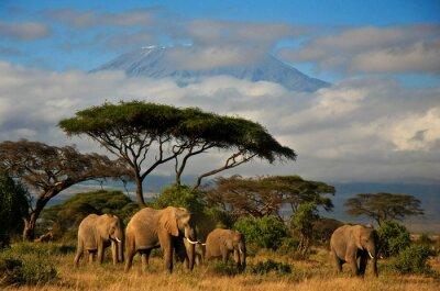 Obraz Rodzina Elephant przed Mt. Kilimanjaro
