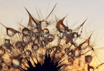Obraz Rosa krople na dandelion ziarnach przy wschodu słońca zakończeniem up.