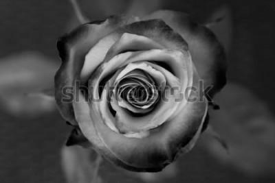 Obraz Róża. Dekoracyjna czarno-biała róża. Elegancki romantyczny kwiat.