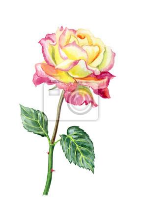Różany menchia akwareli obraz na białym tle, odizolowywającym.