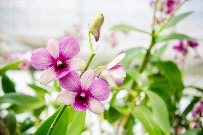 Obraz Różowa orchidea kwiat blossom w ogrodzie