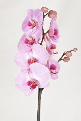 Obraz Różowa orchidea smugi