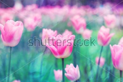 Obraz Różowi kwiatów tulipany zaświecający światłem słońca. Miękka selekcyjna ostrość, tonowanie. Jasne kolorowe tło zdjęcia