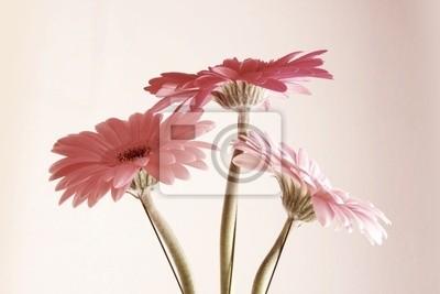 różowy Gerbera