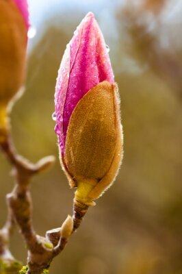Obraz Różowy kwiat magnolii bud z kroplami deszczu. Zamknąć widok z rozmycia tła