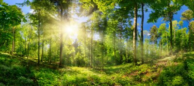 Obraz Scenic forest of deciduous trees, with blue sky and the bright sun illuminating the vibrant green foliage, panoramic view