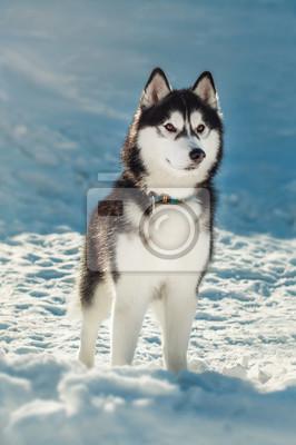 Obraz Siberian husky o brązowych oczach w śniegu