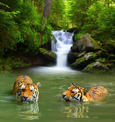 Obraz Siberian Tigers in water