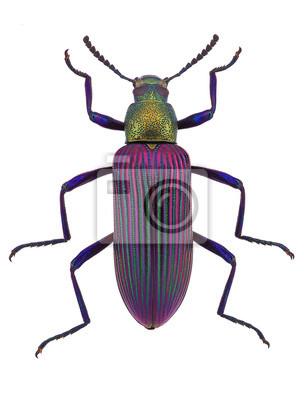 Obraz śliczne beetle Strongylium cupripenne z Madagaskaru