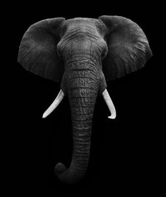 Obraz Słoń afrykański samodzielnie