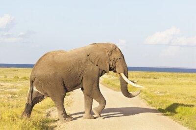 Obraz Słoń afrykański w Kenii