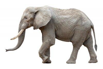 Obraz Słoń przed białym tle