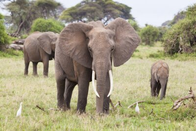 Obraz Słoń Rodzina w Kenii