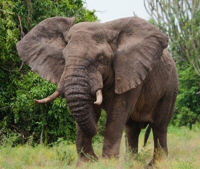 Obraz Słoń w sawanny. Strzelanie z balonem. Afryka. Kenia. Tanzania. Serengeti. Masajowie Mara. Doskonałą ilustracją.