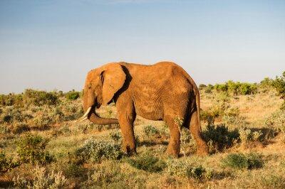 Obraz Słoń w Tsavo East National Park, Kenia