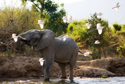 Obraz Słoń z białych czapli. Zambia. Lower Zambezi National Park. Zambezi River. Doskonałą ilustracją.